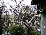 湯島天神梅祭:満開の白梅05-03-05