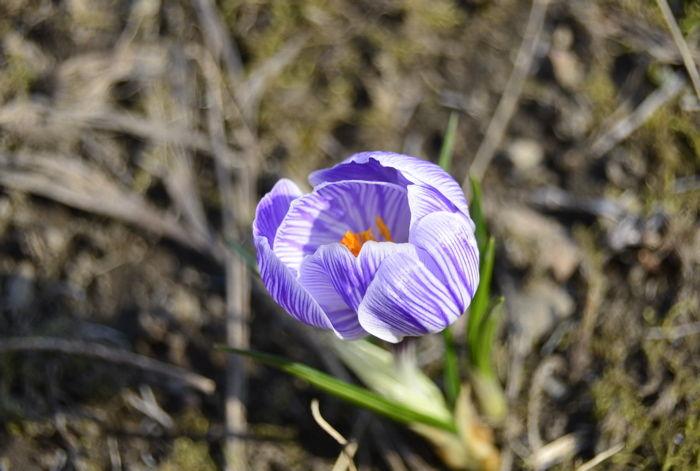津軽の春12
