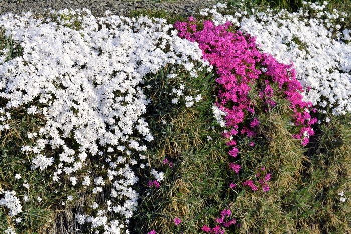 津軽の春10