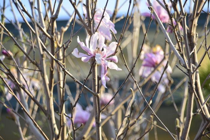 津軽の春1