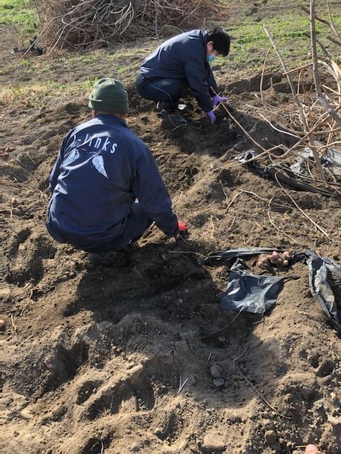 菊芋掘り協力隊