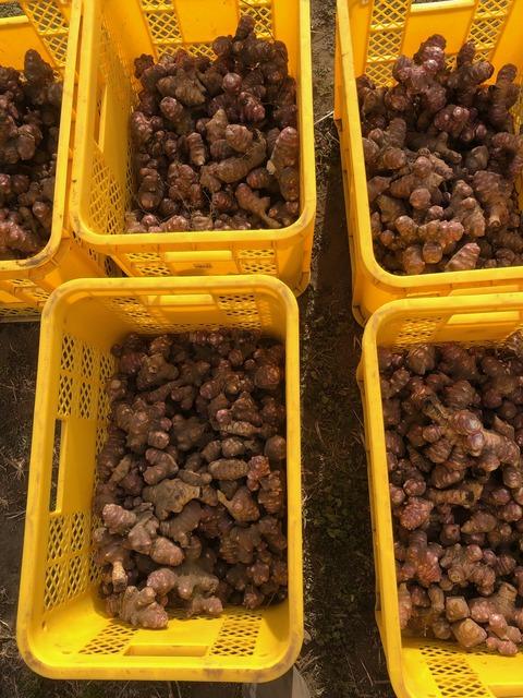 菊芋201224