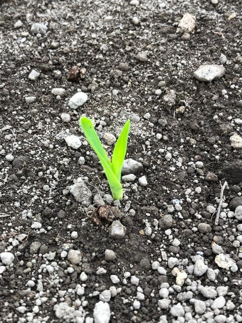210518トウモロコシ第7発芽