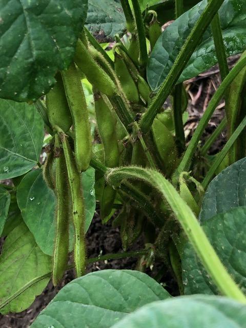 210706枝豆