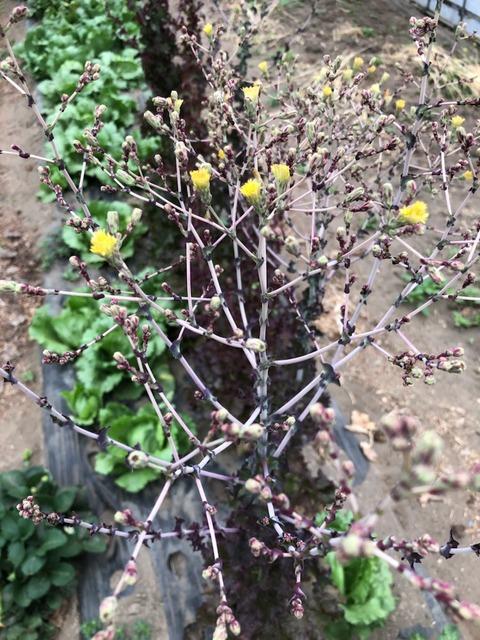 210516サニーレタスの花