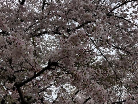 天井の桜210328