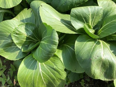 チンゲン菜201119
