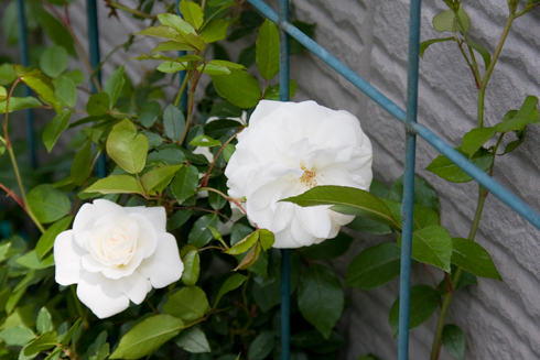 玄関先のバラ