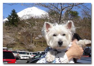 キキと富士と桜