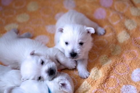 pupies1