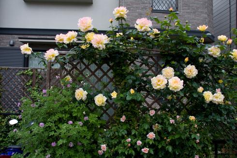 さんぽ途中のバラ