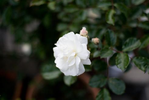 バラその1