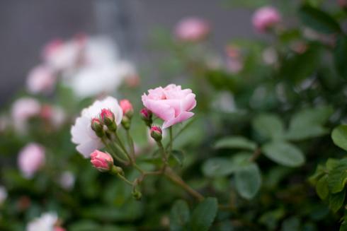 バラその2