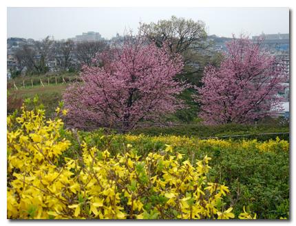 レンギョウとおかめ桜