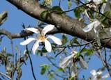 こぶしの花
