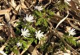 菊咲きイチゲ