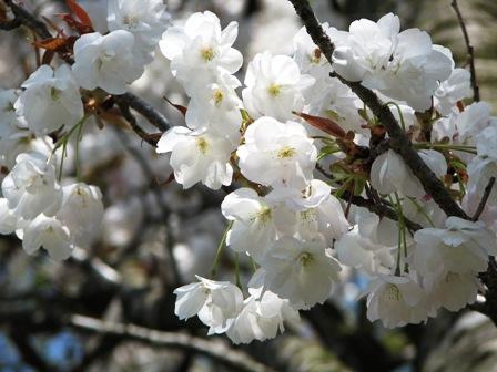 円山公園の八重桜