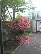 岡田邸つつじ2009