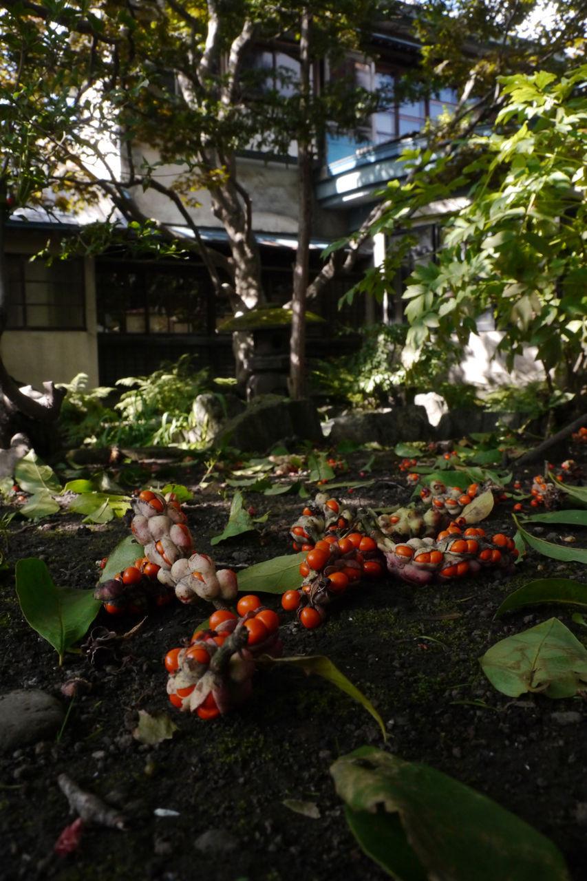 北辛夷2011,09,26