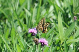 蝶の舞い1