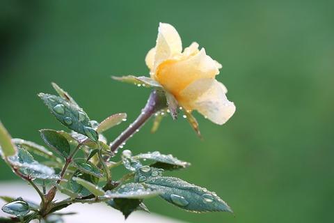 rose-2655213_640