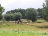 utrecht-sheeps1