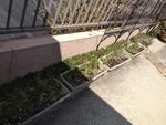 芝桜の養生