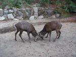 牡鹿の喧嘩?