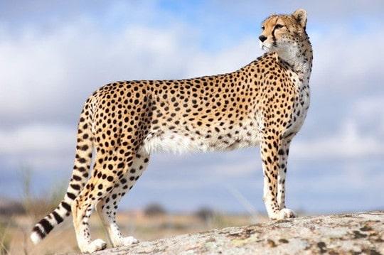 wallpaper-cheetah-photo-08-min