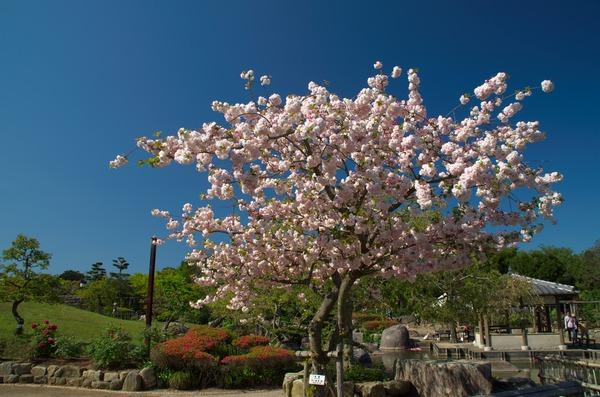 s-ぼたん桜IMGP1166