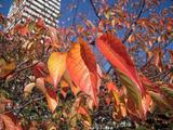 青空に映える真っ赤な葉っぱ♪