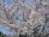 満開のソメイヨシノと真っ青な空!!