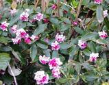 沈丁花はママが大好きな春を告げる花♪