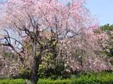 北の丸公園の枝垂桜は