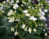 白い八重咲きのアジサイ♪