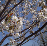 ココの桜も
