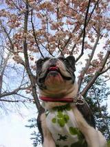満開の八重桜の下で、、、