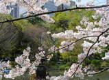 池のほとりの桜は満開♪