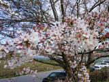 名残りの桜を