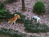 八重桜の絨毯♪