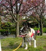 西郷山の八重桜♪