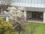 桜と雪。。。