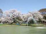 お池のほとりの桜を眺めてたら、、、