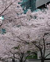 桜を眺めながら