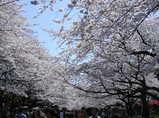 「上野公園」のド迫力桜並木!!