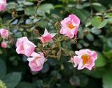 ピンクの野バラ♪