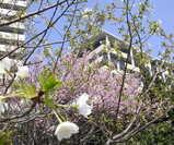 清々しい桜の木♪