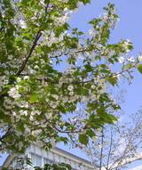 桜も青空に「伸び伸び〜っ!!」