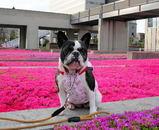 鮮やかなピンクの絨毯は