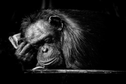 s_sleeping_chimp